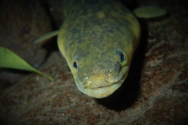 anguille marbrée